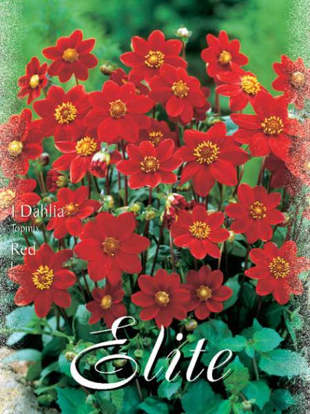 Topmix-Dahlie 'Red', Dahlia (Art.Nr. 520612)