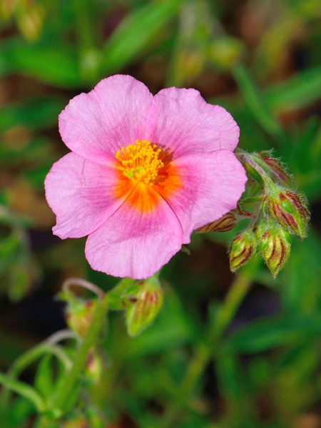 Rosarotes Garten-Sonnenröschens