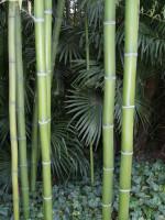 Phyllostachys vivax 'Shanghai 3', Shanghai-Bambus