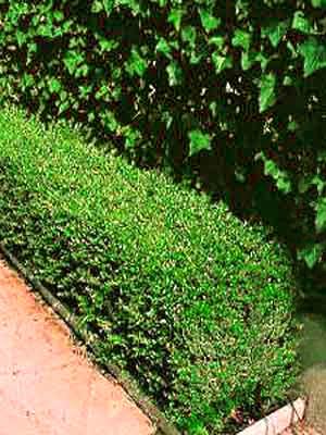 Lonicera nitida 'Elegant', Immergrüne Heckenkirsche