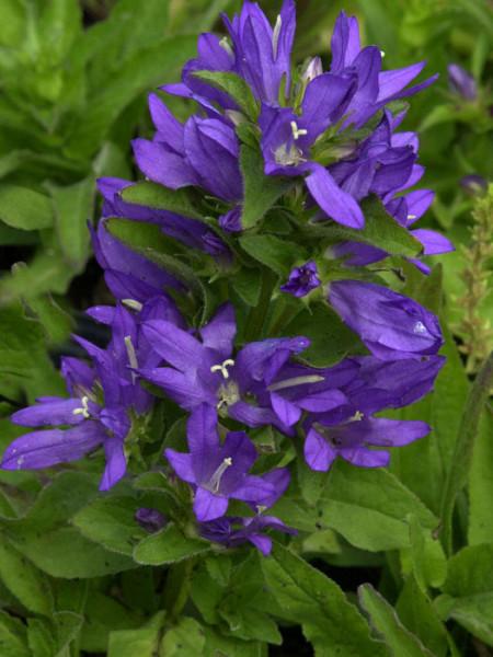Campanula glomerata 'Acaulis', Zwerg-Knäuelglockenblume, Gartenglockenblume