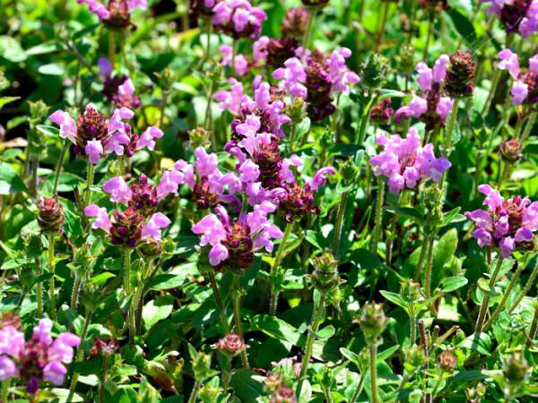 Prunella grandiflora 'Loveliness', Große Braunelle