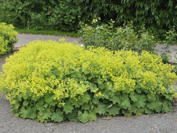 Blühender, weicher Frauenmantel in einer Pflanz-Insel
