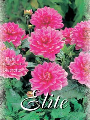 Beet-Dahlie 'Bluesette', Dahlia (Art.Nr. 520378)