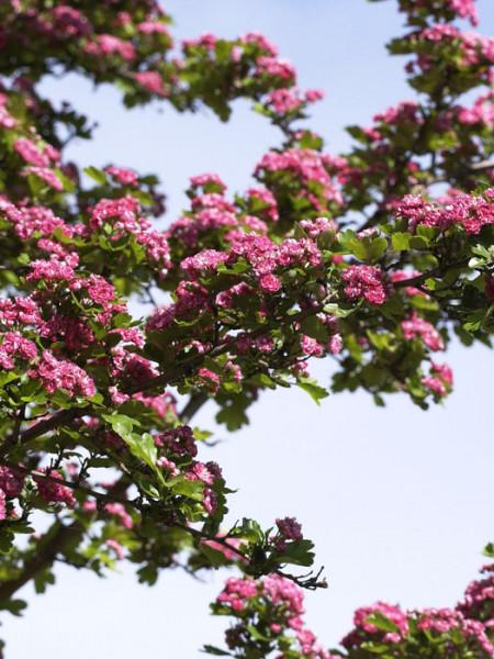 Schöne Blüte des echten Rotdorns