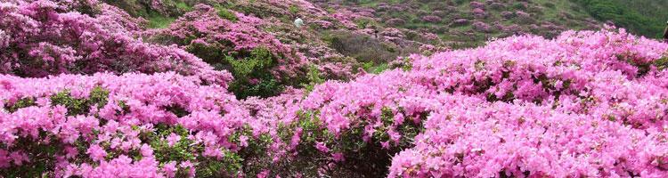 Rhododendron-wildart