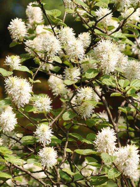 Weiße Blütenpracht des Federbuschstrauchs