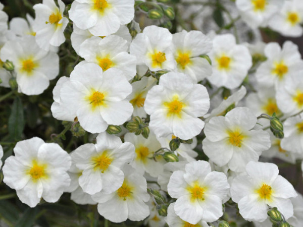 Reiche Blütenpracht des Garten-Sonnenröschens 'Eisbär'