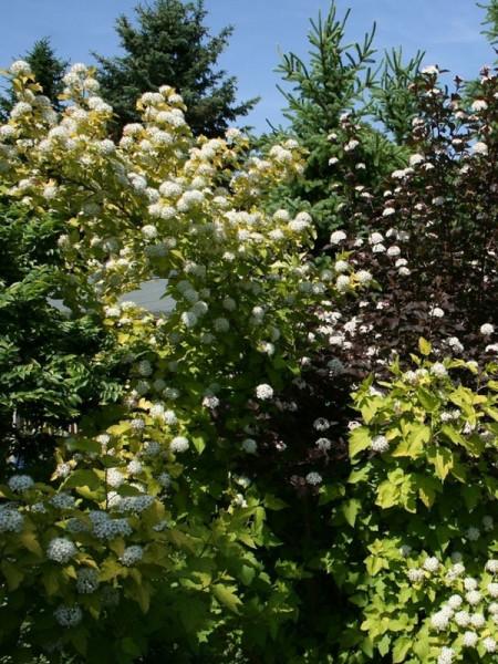 Physocarpus opulifolius 'Darts Gold', gelbe Blasenspiere
