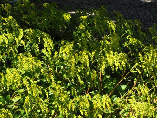 Chiastophyllum oppositifolium, Goldtröpfchen, Walddickblatt