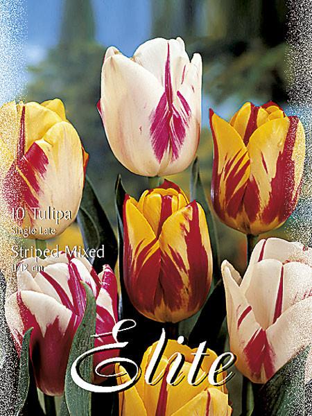 Rembrandt-Tulpen-Prachtmischung (Art.Nr. 595380)