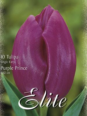 Einfache frühe Tulpe 'Purple Prince' (Art.Nr. 595116)