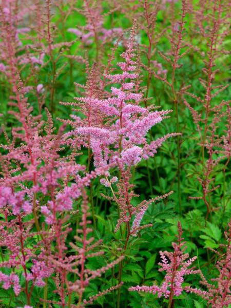Blüte der Astilbe 'Cattleya'