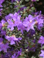 Rhododendron impeditum, immergrüner Zwerg-Rhododendron