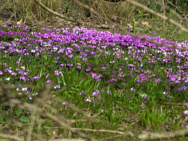 Cyclamen coum, (Garten-) Frühlingsalpenveilchen