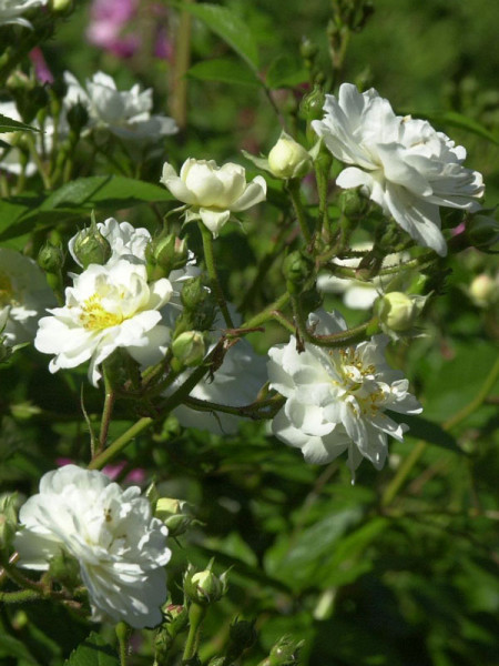Rosenblüten Guirlande d´Amour