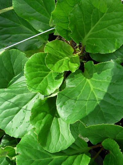 Kräftiges, sattgrünes Blattwerk des Riesensteinbrechs