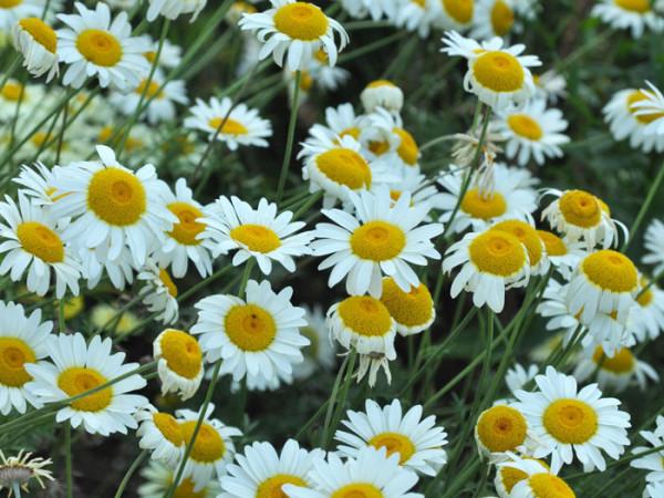 Anthemis tinctoria 'Sauce Hollandaise',helle Färberkamille,