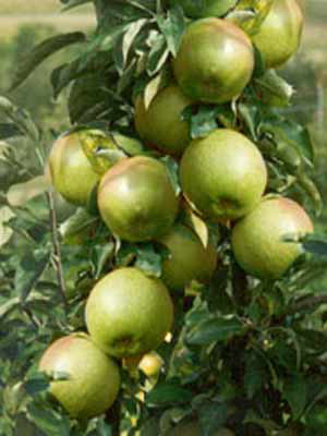 Äpfel am Ast Granny Smith