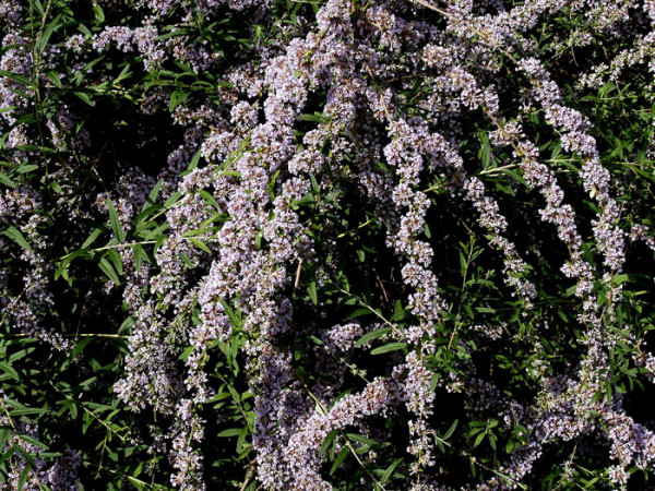 Hängende Triebe des Sommerflieders mit violetter Blüte