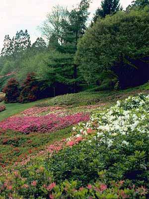 Rhododendron-Begleit-Stauden 5 Sorten (21 Pflanzen)