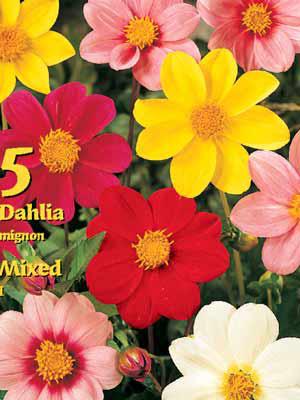 Mignon Dahlien Prachtmischung, Dahlia (Art.Nr. 522316)