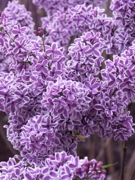 Edel-Flieder Sensation Blüte