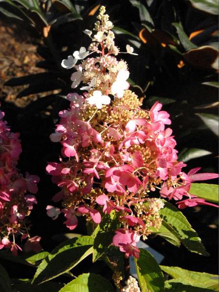 Hortensie Pinky Winky Blüte