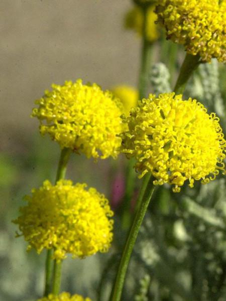 Santolina chamaecyparissus, Graues Heiligenkraut