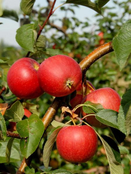 Apfel Resi