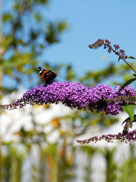 Schmetterling auf der Blüte des Sommerflieders