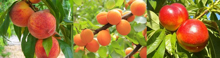mirabelle-aprikose-nektarin