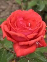 Rose Duftwolke ® - Tantau
