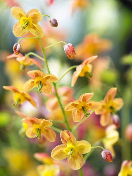 sommerliche gelb-orange Blüte der Elfenblume 'Orangekönigin'