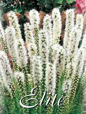 Prachtscharte 'White', Liatris spicata (Art.Nr. 521644)