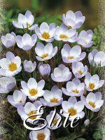 krokusse_blue_pearl_chrysanth