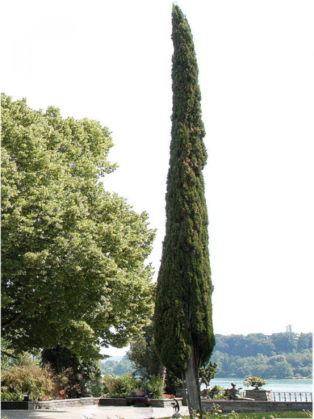Die Toscana-Zypresse 'Totem' als Solitärgehölz