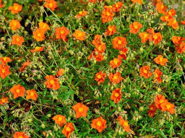 Reicher Blütenflor des Garten-Sonnenröschens