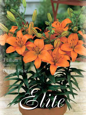 Topf- und Beet-Lilie 'Orange Pixie', Lilium (Art.Nr. 521782)