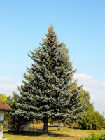 Picea pungens 'Glauca', Blaufichte
