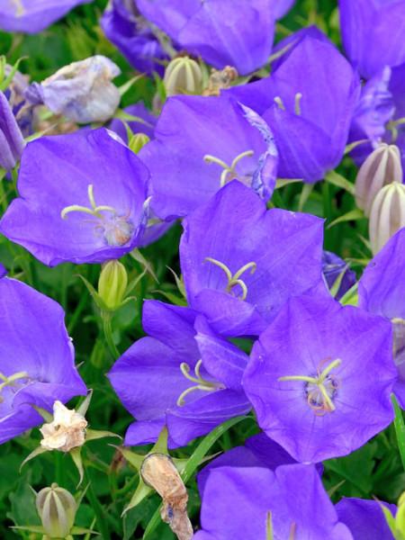 Blüte der Karpatenglockenblume
