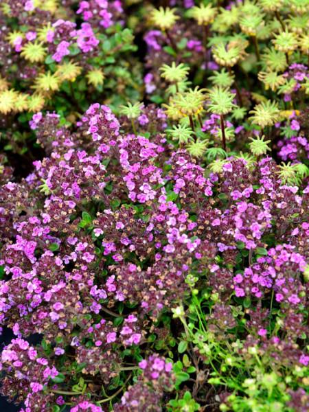 Rosenduftthymian, Thymus vulgaris 'Wine and Roses'