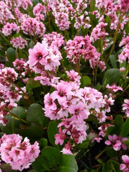 Bergenia cordifolia 'Pink Dragonfly', Bergenie