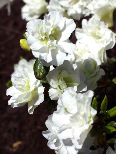 Rhododendron obtusum 'Schneeperle', wintergrüne japanische Zwergazalee