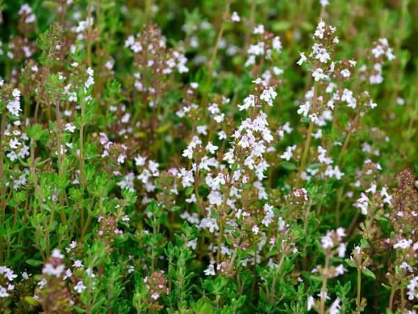 Echter Thymian, Thymus vulgaris