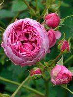 Rose Pomponella ® - Kordes