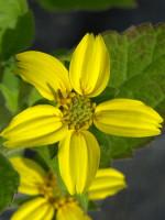 Chrysogonum virginianum, Goldkörbchen