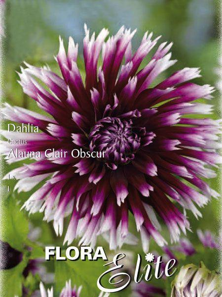 Kaktus-Dahlie 'Alauna Clair Obscur', Dahlia (Art.Nr. 520002)