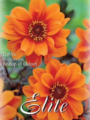 Duplex-Dahlie 'Bishop of Oxford', Dahlia (Art.Nr. 520692)