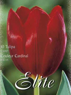 Triumph-Tulpe 'Couleur Carinal' (Art.Nr. 595200)